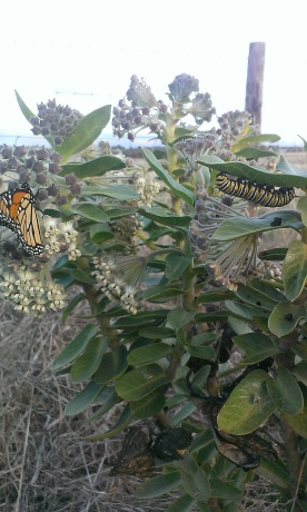 A Monarch butterfly and caterpillar on a milkweed plant